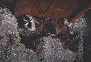 Raccoons, Hiding, Critters, Risk Prevention